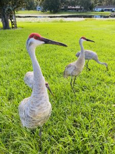 Talking to Sandhill Cranes