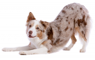 Australian Shepherd stretching in downward dog position - How to Stretch to Reduce Pain